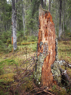 Gammel træstub i granskov