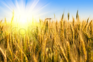 Wheat field with sunlight on blue sky. Shallow deep of field