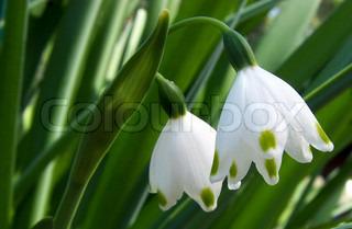 vintergæk blomst