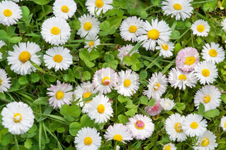 White and pink daisies on a green spring meadow grass background. Sunny day