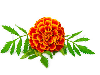 red Marigold (Tagetes) isolated on white