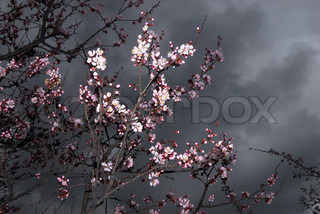 Flowers on apricot tree and storm sky