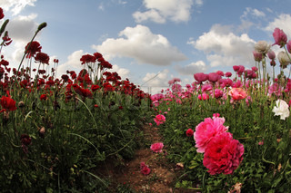 A beautiful field of pink and red garden