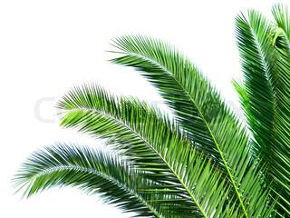 Blade af palme isoleret på hvid baggrund