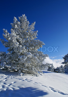 Spruce trees covered by snow in beautiful winter landscape