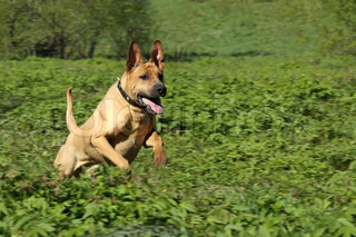 Adult red dog - metis of a Shar-Pei - running outdoors