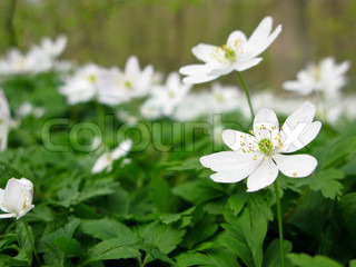 wood anemone - anemone nemerosa in detail with flower and leaves