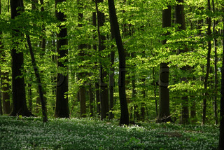 beech trees in spring with anemones