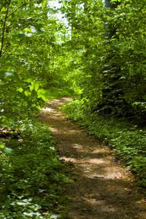 Lille sti fører gennem en frodig grøn skov , oplyst af sommersolen