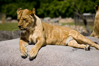 Female lion resting on top of a flat rock, overlooking the savannah