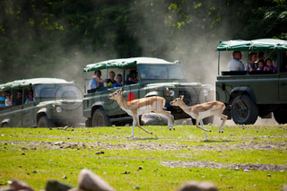 Safari tour in rigged 4x4's passing a family of running antilopes