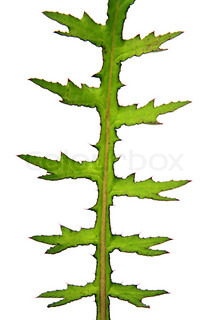 sheet of the prickly plant on white background