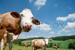 Ko med lange tunge i smukke landskab Oberösterreich
