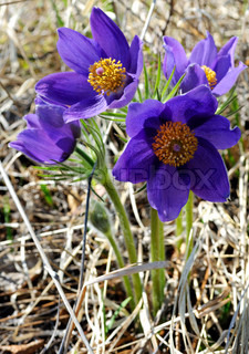 Pulsatilla patens is a species of flowering plant in the family Ranunculaceae, native to Europe, Russia, Mongolia, China, Canada and the United States