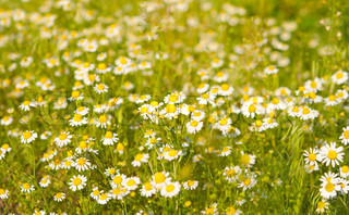 Medical daisy in the meadow