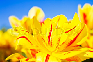 yellow and red flowers blooming tulips against the blue sky closeup