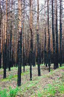 charred trees in a pine forest