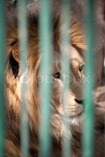 Lion in a cage. The African animal in bondage. A zoo