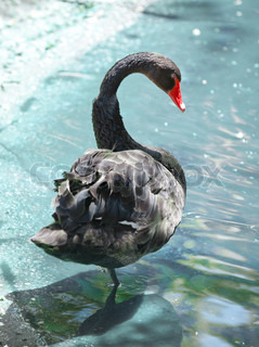 Black swan. The natatorial bird of passage of family duck with a long flexible neck.