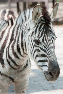 zebra. Type of striped African animal which resembles a horse