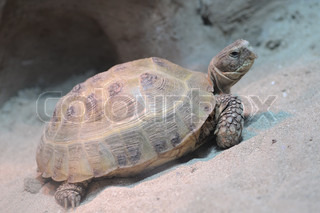 turtle.reptile with a hard shell around the trunk of the body