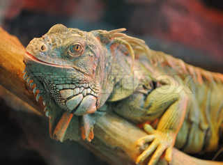 iguana. Family of large lizards adapted conditions of a dry climate