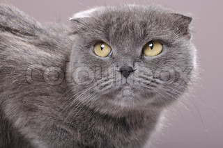 close-up portrait of a fold ear Scottish breed grey cat