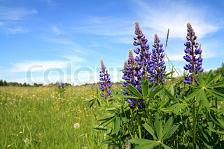 blue lupines on spring field