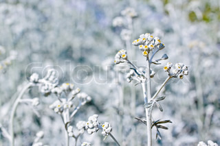 White plant with small yellow flowers on blurry background