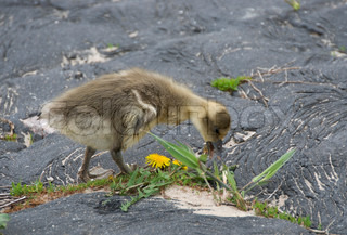 young goose eating grass as food