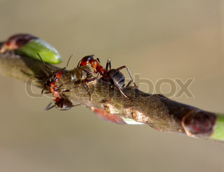 Two forest ants on the branch worry about the aphid