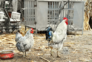 white hen and cockerel in rustic farm yard outdoors