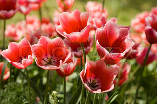 Pink and white tulips in the garden. Location:  Istanbul, Turkey
