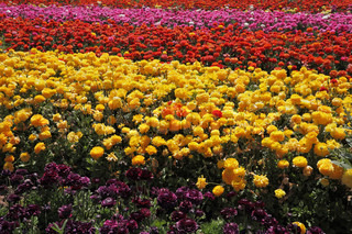 Charming carpet of flowers. Field of red and yellow blooming buttercups, illuminated by the spring sun