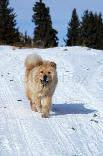 Chow-chow on winter road in mountain