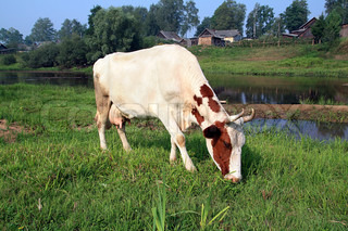cow on coast river near villages