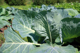 green sheet of the cabbage