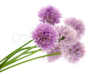 lilla blomster på en hvid baggrund
