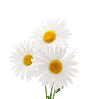 Daisy på en hvid baggrund