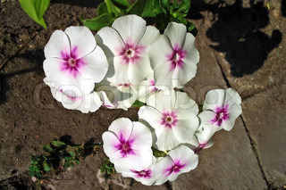 White with purple flower Phlox on the background of green leaves and bricks