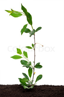 Young sprout Cherry