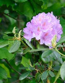 Flowering rhododendrum