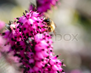 Bee close up on heather. Purple and white heather flowers are defocused. Selective focus on bee.