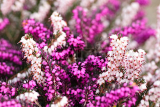 Different heather flowers close up flower background. Shallow deep of field