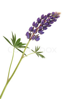 Closeup of pink lupine with long stem on white background