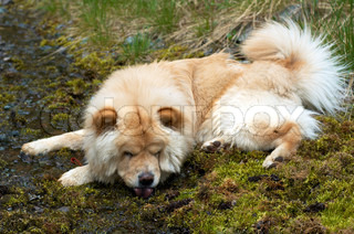 Tired chow-chow dog to drink from small creek