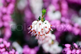 Romantic background with purple and white heather flowers