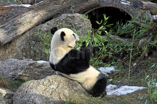 Giant panda bear eating bamboo leaf in Vienna Zoo, Austria