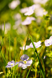 look-up-and-kiss-me flowers in grass. Close up, shallow deep of field