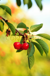 Cherry fruits on branch close up in orchard